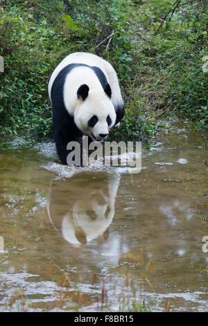 Panda Ailuropoda melanoleuca Bifengxia Panda Base Sichuan Province China MA003074 - Stock Photo