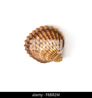 Beautiful brown seashell isolated on the white background. - Stock Photo
