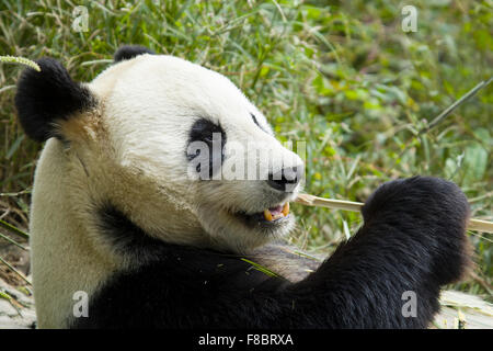Panda eating Bamboo Chengdu Panda Breeding Centre Sichuan Province China MA003083 - Stock Photo