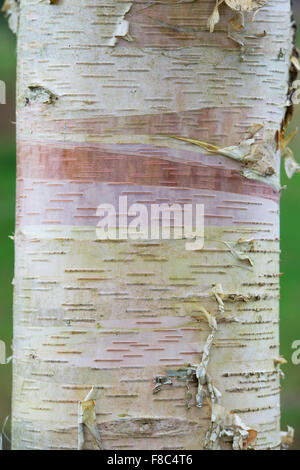 Betula albosinensis 'Hergest'. Chinese Red Bark Birch - Stock Photo