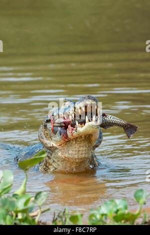 Yacare caiman (Caiman yacare) devouring a fish, Cuiaba river, Pantanal, Brazil - Stock Photo