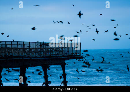 Aberystwyth Wales UK, Tuesday 08 December 2015  A flock of starlings flying in to roost on Aberystwyth pier on the - Stock Photo