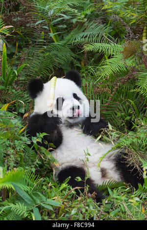 Two years aged young giant Panda (Ailuropoda melanoleuca), China Conservation and Research Centre for the Giant - Stock Photo