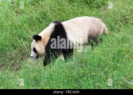 Adult Giant Panda (Ailuropoda melanoleuca), China Conservation and Research Centre for the Giant Pandas, Chengdu, - Stock Photo