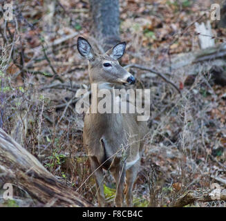 Image with the beautiful wide awake deer in the forest - Stock Photo