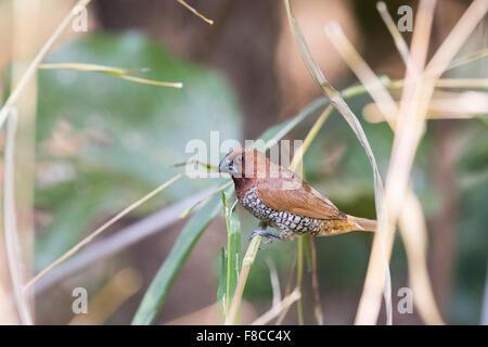 A scaly-breasted munia (Lonchura punctulata) in India - Stock Photo