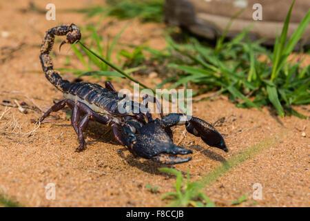 A Giant Indian black scorpion Heterometrus swammerdami at Bandhavgarh - Stock Photo