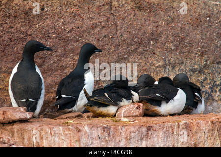 Thick-billed murres / Brünnich's guillemots (Uria lomvia) breeding on rock ledge of sea cliff in seabird colony, - Stock Photo