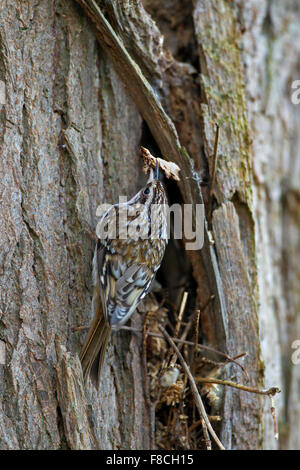 Eurasian treecreeper / common treecreeper (Certhia familiaris) climbing tree trunk with twig as nesting material - Stock Photo