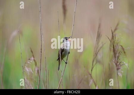 Great reed warbler (Acrocephalus arundinaceus) male singing from reed stem in reedbed in spring - Stock Photo