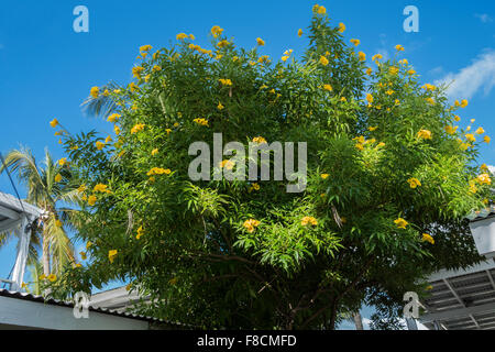 Tree of yellow bells yellow trumpet yellow elder tecoma stans ginger thomas tacoma stans a tree with yellow trumpet shaped flowers growing on mightylinksfo