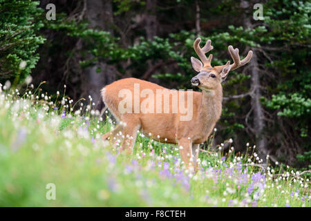 Black-tailed Deer Buck (Odocoileus hemionus columbianus), Pacific Northwest - Stock Photo