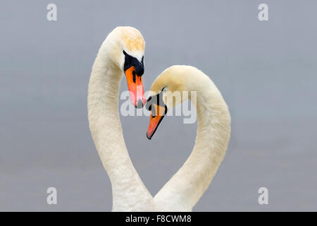 Mute Swans; Cygnus olor; displaying - Stock Photo