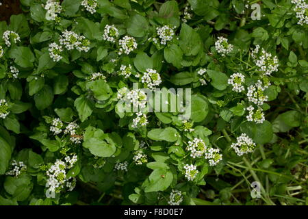 Water-cress, Nasturtium officinale, in flower in a ditch. Stock Photo