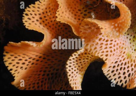 Reteporella grimaldii, Mediterranean Bryozoa, PhidoloporTor Paterno Marine protected area, Rome, Lazio, Italy, Mediterranean - Stock Photo
