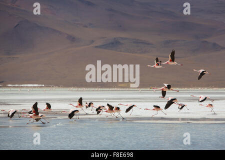 Group of flamingos flying on the lagoon, Bolivia - Stock Photo
