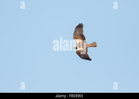 female Marsh Harrier, Circus aeruginosus, in flight against blue sky showing upperwings - Stock Photo