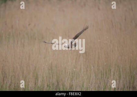 female Marsh Harrier in flight from hunting over grass and reeds - Stock Photo