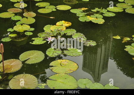 Waterlilies (Nymphaea) in a lake with skyscraper reflection, Hong Kong, china, asia - Stock Photo