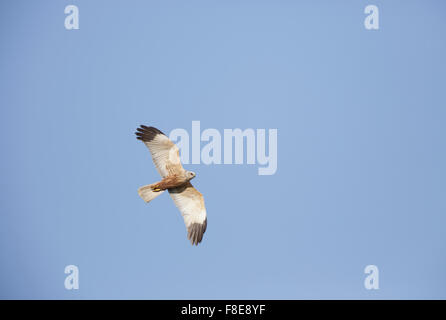 Male Marsh Harrier in flight from below showing underwings - Stock Photo