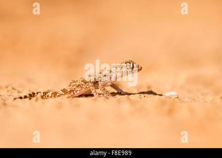 Short-fingered Gecko (Stenodactylus sthenodactylus) sometimes called dune gecko or dwarf gecko. This specie is common - Stock Photo