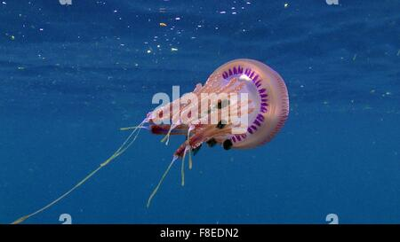 Pink Jellyfish (Thysanostoma) with small fishes (The Atlantic horse mackerel)