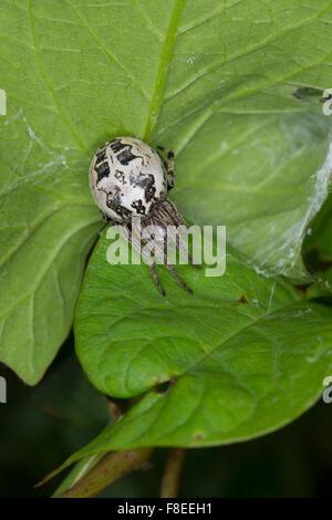 Furrow spider, Furrow Orbweaver Spider, Schilfradspinne, Schildkreuzspinne, Larinioides cornutus, Araneus cornutus - Stock Photo