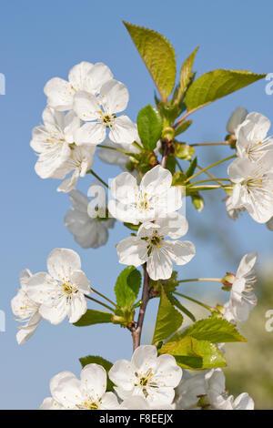 Sour cherry, Sauerkirsche, Weichselkirsche, Sauer-Kirsche, Kirsche, Schattenmorelle, Blüten, Blüte, Obstbaum, Prunus - Stock Photo