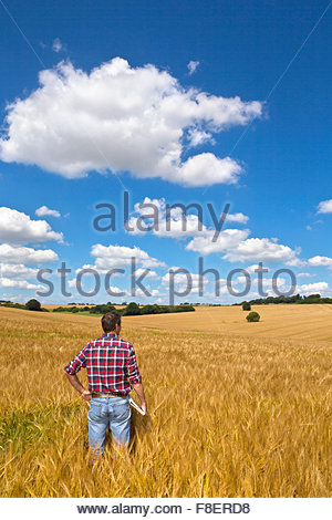 Farmer looking out over sunny rural barley crop field in summer - Stock Photo