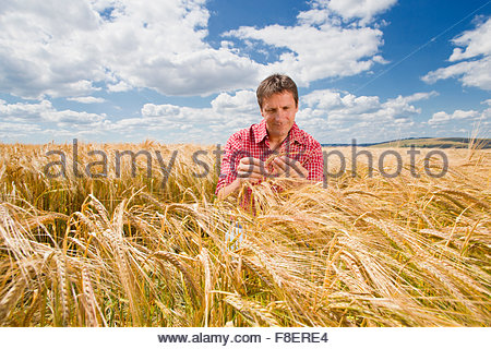 Farmer examining sunny rural barley crop field in summer - Stock Photo