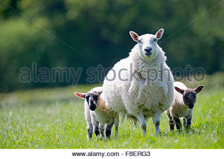 Portrait sheep and lambs in sunny green spring field - Stock Photo