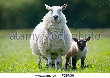 Portrait of sheep and lamb in sunny green spring grass - Stock Photo