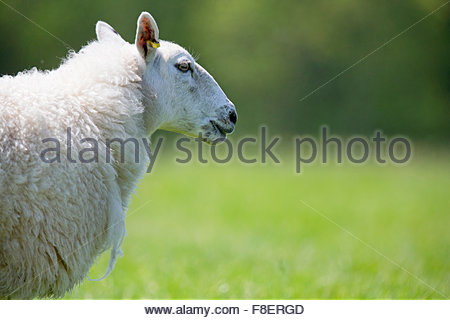 Side view sheep in sunny green spring grass - Stock Photo