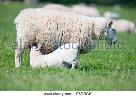 Lamb suckling sheep in sunny green spring field - Stock Photo