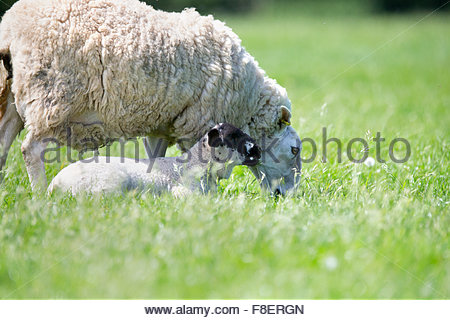 Sheep and lamb in sunny green spring field - Stock Photo
