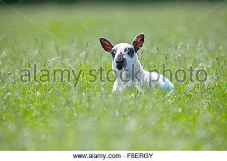 Portrait of curious lamb laying in sunny green spring field - Stock Photo