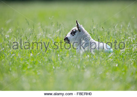 Lamb laying in sunny green spring field - Stock Photo