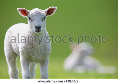 Portrait of lamb in green spring grass - Stock Photo