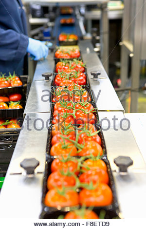 Packages of ripe red vine tomatoes on production line in food processing plant - Stock Photo