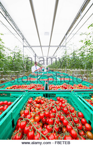 Abundance of ripe red vine tomatoes in crates in greenhouse - Stock Photo