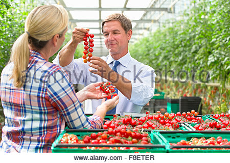 Growers inspecting ripe red vine tomatoes in crates in greenhouse - Stock Photo