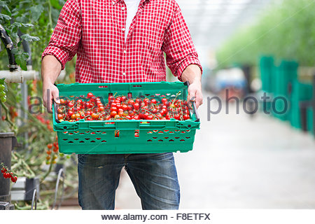 Worker carrying crate of ripe red vine tomatoes in greenhouse - Stock Photo
