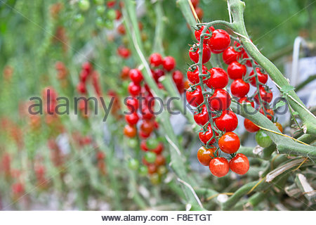 Close up ripe red tomatoes on the vine - Stock Photo
