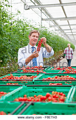 Businessman inspecting ripe red vine tomatoes in greenhouse - Stock Photo