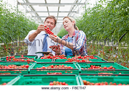 Businessman and grower inspecting ripe red vine tomatoes in greenhouse - Stock Photo