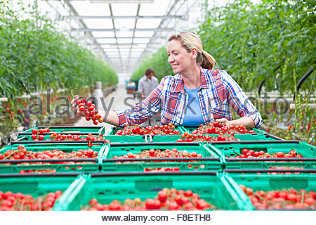 Smiling grower inspecting ripe red vine tomatoes in greenhouse - Stock Photo