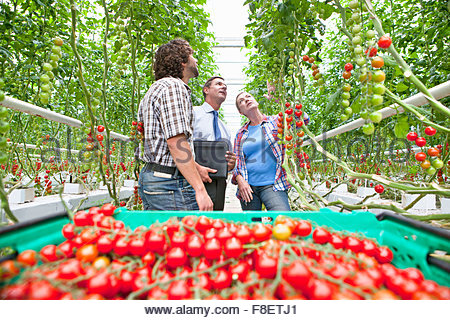 Businessman and growers inspecting and harvesting ripe red vine tomatoes in greenhouse - Stock Photo