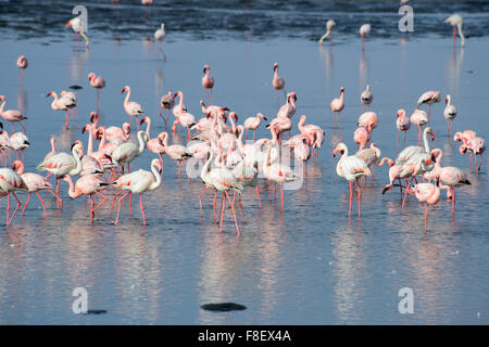 Flock of greater flamingos (Phoenicopterus ruber) in Walvis Bay, Namibia - Stock Photo