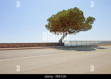 Maritime Pine curved tree on scenic coastal road to Saint Tropez in French Riviera. Var, Provence Cote Azur, France. - Stock Photo
