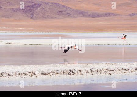 Pink flamingo flying over 'Laguna Hedionda' (eng. Hedionda Lake), among the most scenic travel destination in the - Stock Photo
